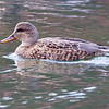 Gadwall (female) Bedford County, Pennsylvania
