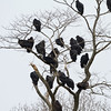 Black Vultures and 2 Turkey Vultures