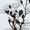 Black Vultures and 2 Turkey Vultures
