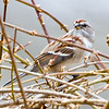American Tree Sparrow, Bedford County, Pennsylvania