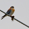 American Kestrel (adult male) with Vole