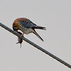 American Kestrel (adult male) feeding on Vole