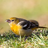 Baltimore Oriole on ground, Bedford County, PA