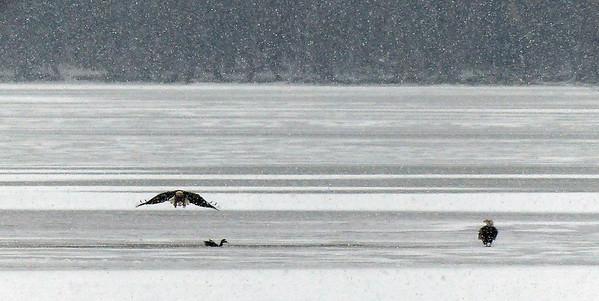 Christmas Bird Count, Mogodore Reservoir, Dec 15, 2013