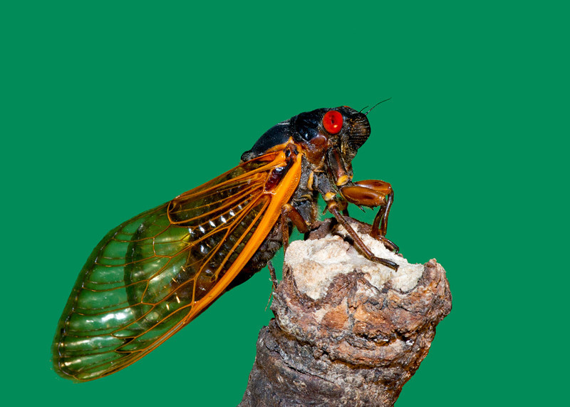 Cicada 13 Year