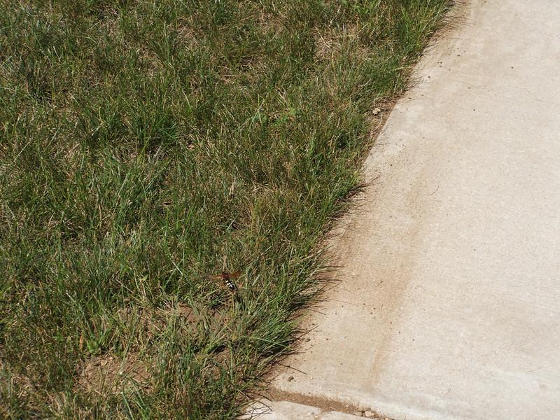Cicada Killer - next to our front sidewalk