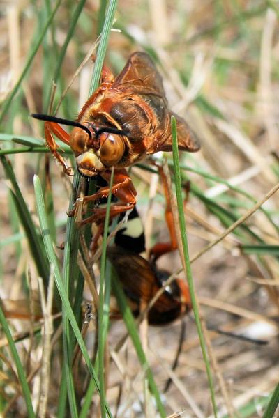 Mating Cicada Killers