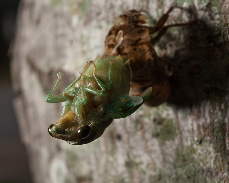 Annual cicada emerging from its shell