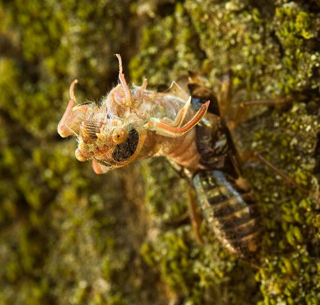 molting cicada