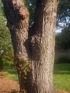 They seem to love this tree across the street.