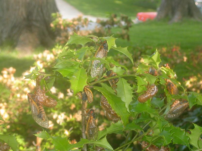 Cicadas populate a holly bush.
