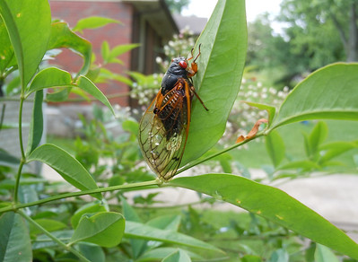 Is the cicada watching me or the approaching shower?