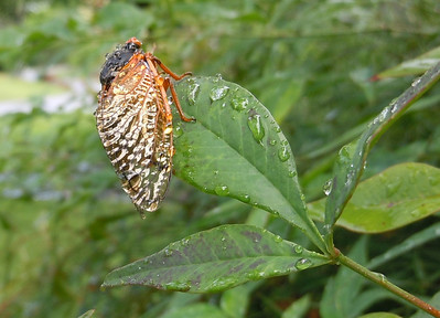 This cicada seems to be working on drying one wing at a time