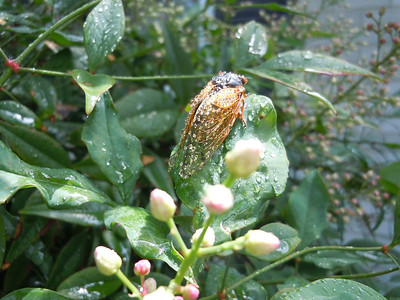 Same cicada with the sun over his right shoulder, er wing(?)