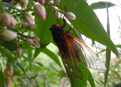 One of the few cicada's that spread their wings for the camera