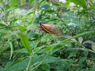 Colorful cicada, water drops and a little sunlight make for a nice photo