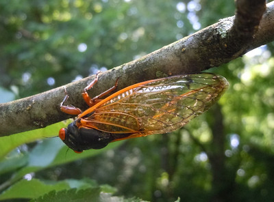 This cicada was trying to ease out of my view