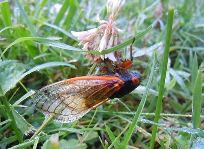I took several photos of this cicada.  He had an interesting time getting out of the grass (hit leg, etc.) and to a higher position.