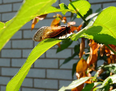 Cicada doing his best to match the color of the leaves in the background.