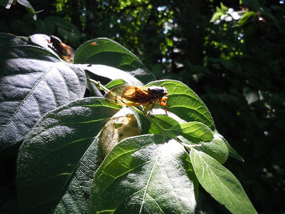 Cicada adding his own color to the leaves via sunlight.