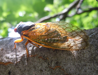A cicada looking forward to the warm sunshine.