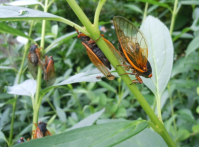 Cicadas are coming and going every where.