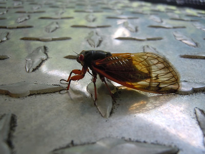 Cicadas can be particular when the toolbox is dirty.