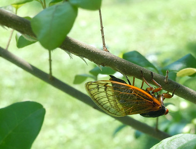 What is about a female cicada that turns her upside-down to lay her eggs?