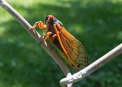 A cicada appreciates a little thing like a good fence.