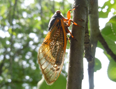 A cicada's profile shows both layers of wings.