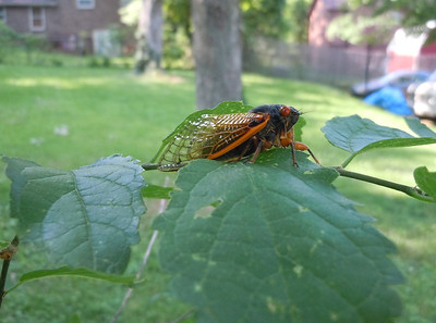 A cicada thinking about hopping on my arm.