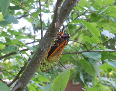 Cicada free-climbing with no safety equipment.