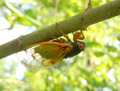 This cicada is feeling a lighter shade of pale.