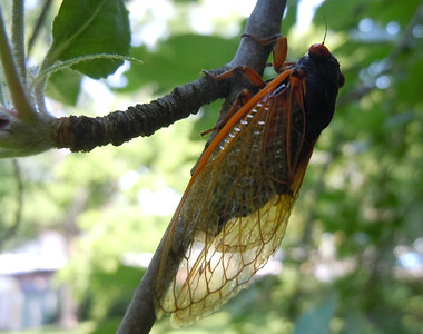 A cicada enjoying the shade.