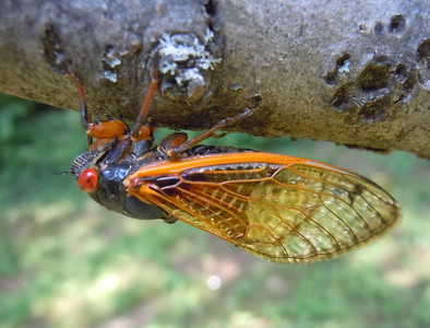 Sharp cicada toes doing their thing. They are called toes, aren't they?
