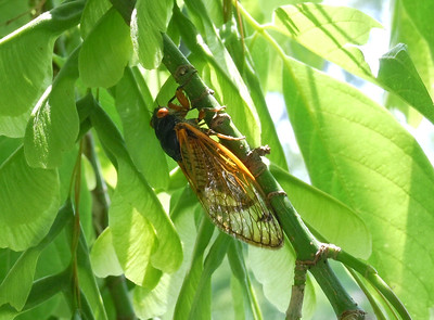 Another cicada reflecting the greenery.