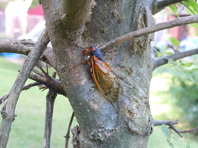 This tree has befriended a lot of cicadas this year.