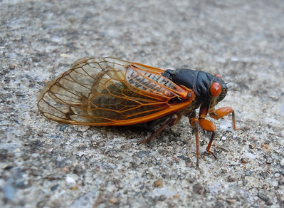I don't think this cicada much appreciated the texture of the concrete.
