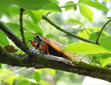 As I approached, this cicada started to shuffle to the other side of the branch.