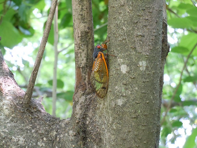 Another cicada practicing his free-climbing technique.