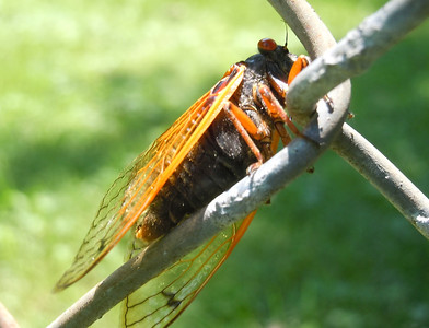 Cicada checking the links of a fence