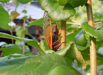 Female cicada laying eggs in the late afternoon