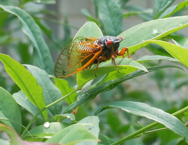 Cicada perched on a leaf, drying after the rain