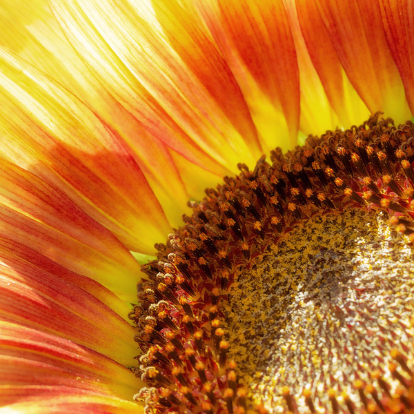 The summer sun shines on this colourful sunflower, creating light and shadow.