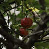 Apple Tree on Ashland Ave. Ashland Avenue Buffalo NY