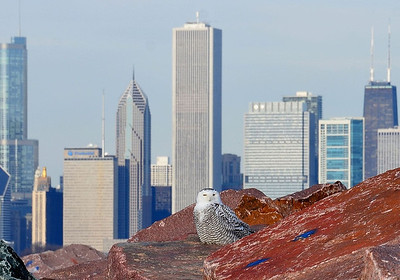 City Snowy Owls
