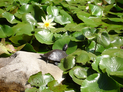Turtle at Caltech Lily pond