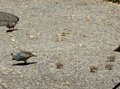 This Quail family hung out at my cousin's house  in Atherton, CA.