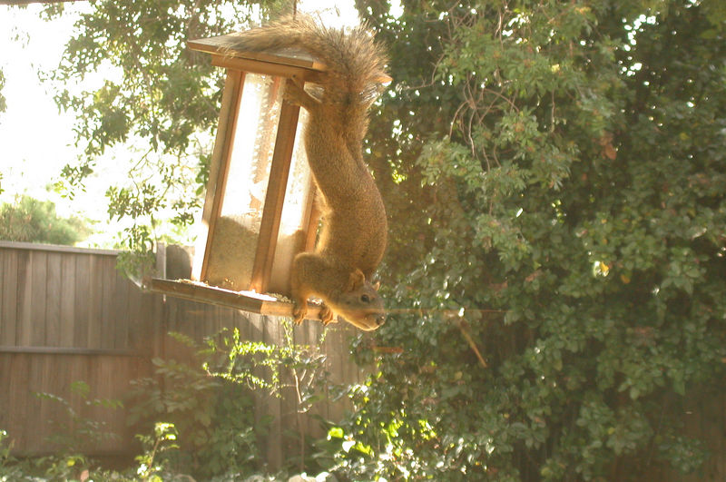Most of the time the squirrel's face is buried in the birdseed.