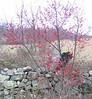 Winterberry (Ilex verticillata)
